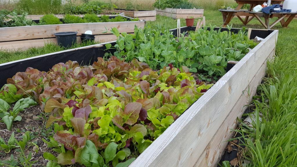 Få et højbed på Køge Fælles Jord, til dine egne grøntsager