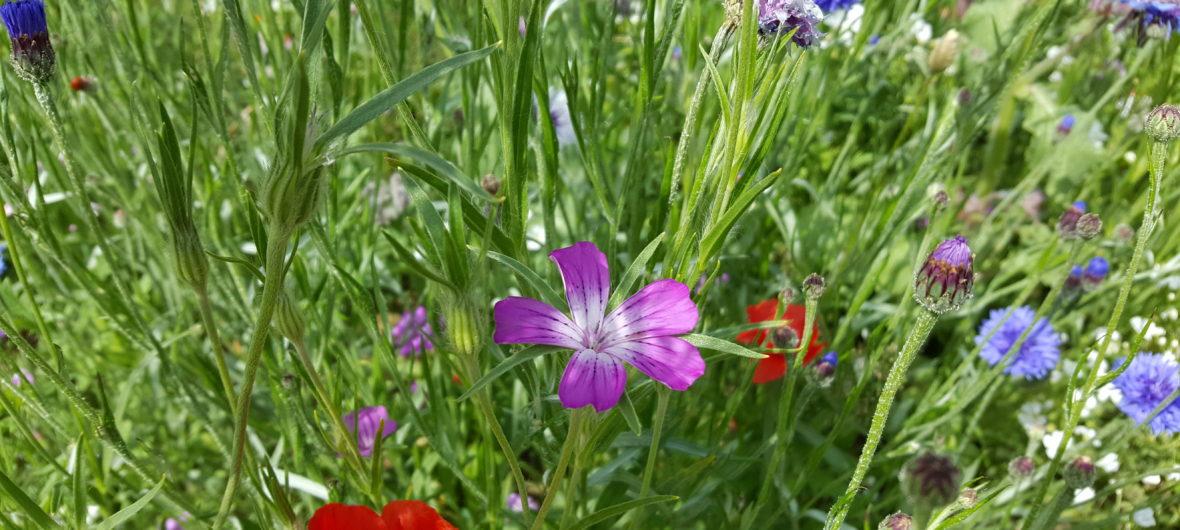 blomster på Køge Fælles Jord