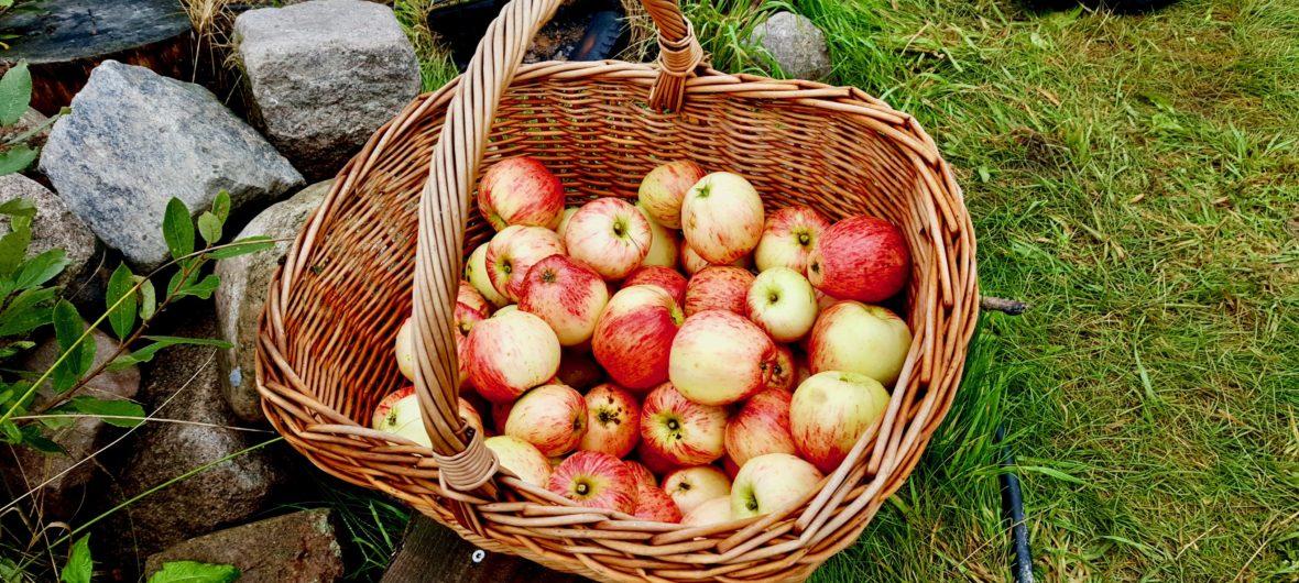 æbler i kurv på Køge Fælles Jord